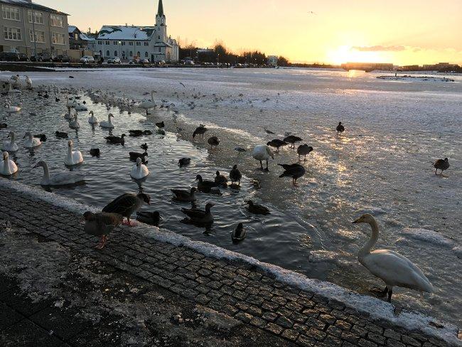 birds in iceland december