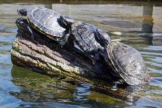 Turtle Sex